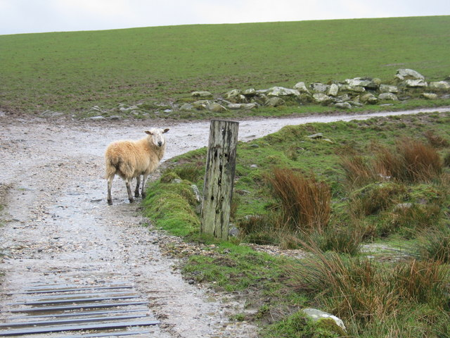 lost_sheep_on_farm_track-_-_geograph-org_-uk_-_368111