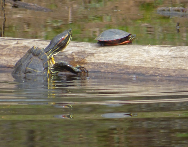 turtles-climb-on-log